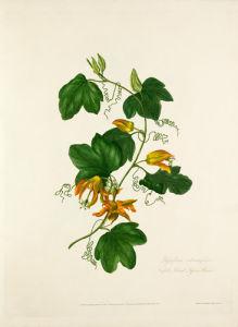 Passiflora adiantifolia. Norfolk Island Passion Flower by Mary Lawrance