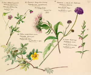 Wildflower composite by Lillian Snelling