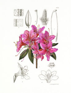Rhododendron villosum by Lillian Snelling