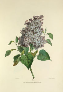 Lilac by Valentine Bartholomew