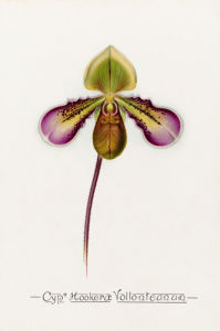 Cypm. Hookerae Vollonteanum by John Livingstone McFarlane