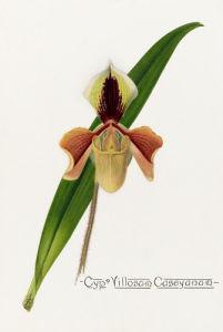 Cypm. Villosum Caseyanum by John Livingstone McFarlane