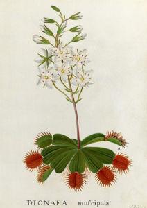Dionaea muscipula, Venus Fly-Trap by James Bolton