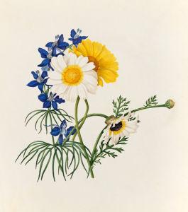 Delphinium grandiflorum, Argyranthemum frutescens by Caroline Maria Applebee