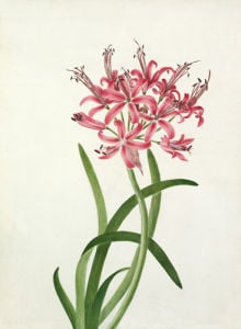 Nerine sarniensis by Elizabeth Smith