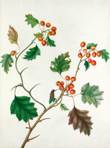 Crataegus monogyna by Augusta Smith