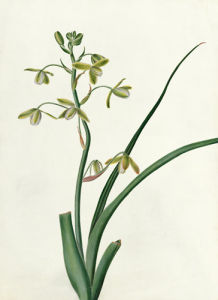 Albuca altissima by Emma Smith