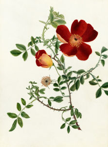 Rosa foetida 'Bicolor' by Emma Smith