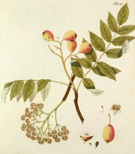 Die Spierlingbaum by Johann Simon Kerner
