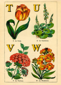 T for Tulip, U for Umbilicus, V for Verbena, W for Wallflower by John Dicks