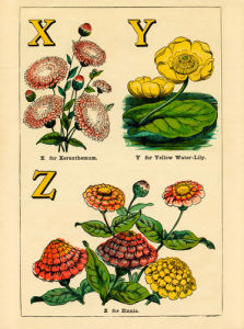 X for Xeranthemum, Y for Yellow Water-Lily, Z for Zinnia by John Dicks
