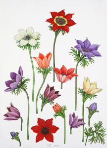 Anemone coronaria by John Paul Wellington Furse