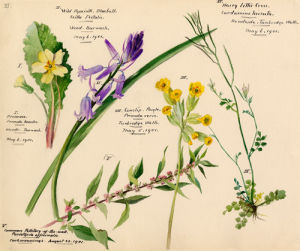 Wildflower Composite XI by Lillian Snelling