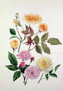 Rosa 'Alister Stella Gray', Rosa 'Blush Noisette', Rosa 'Celine Forestier' by Graham Stuart Thomas