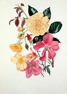 Rosa 'Buff Beauty', Rosa x odorata 'Mutabilis' by Graham Stuart Thomas