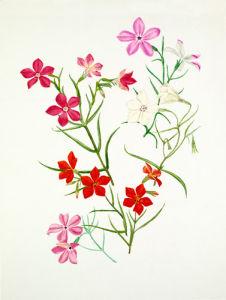 Phlox mesoleuca 'Arroyo', Phlox mesoleuca 'Mary Maslin', Phlox nana by Graham Stuart Thomas