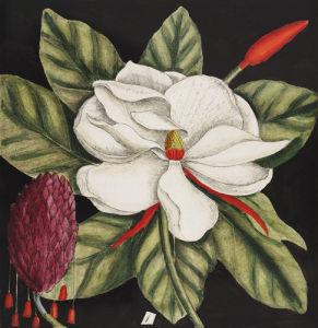 Magnolia altissima, flore ingenti candido by Mark Catesby