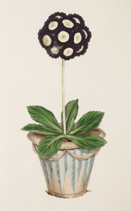 Redman's Metropolitan, an Auricula by James Sowerby