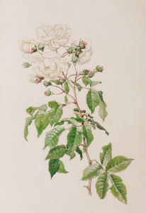 Rosa noisettiana Aimée Vibert by Alfred William Parsons