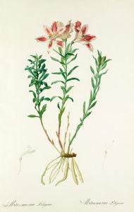 Alstroemeria pelegrina by Pierre Joseph Celestin Redouté
