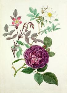 Rosa glauca, Rosa fedtschenkoana, Rosa 'Reine des violettes' by Graham Stuart Thomas
