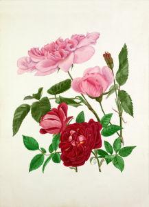 Rosa 'Madame de Sancy de Parabere', Rosa 'Amadis' by Graham Stuart Thomas