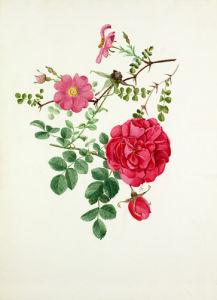 Rosa multibracteata, Rosa 'Cerise Bouquet' by Graham Stuart Thomas