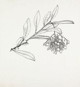 Arbutus unedo by Graham Stuart Thomas