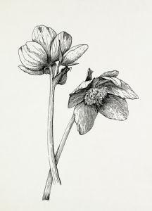 Helleborus niger by Graham Stuart Thomas