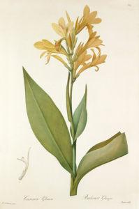 Canna glauca by Pierre Joseph Celestin Redouté