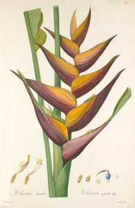 Heliconia humilis by Pierre Joseph Celestin Redouté