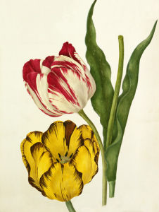 Tulipa 'The Claude', Tulipa 'Duke of Sutherland' by Caroline Maria Applebee