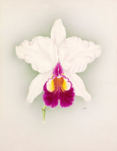Cattleya x hardyana Alba Pitts variety by Nellie Roberts
