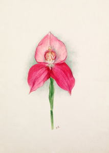 Disa x Diores var. Clio by Nellie Roberts