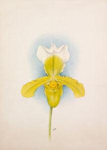 Cypripedium x San de Derai superbum by Nellie Roberts
