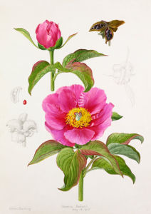 Paeonia Bakeri by Lillian Snelling