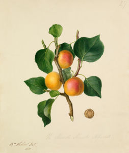 The Musch Musch Apricot by Augusta Innes Withers