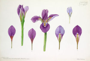 Iris Cross-section by Lillian Snelling