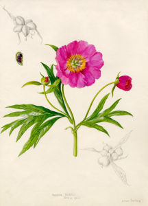 Paeonia veitchii by Lillian Snelling