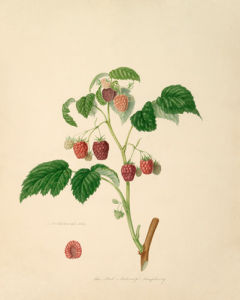 The Red Antwerp Raspberry by William Hooker