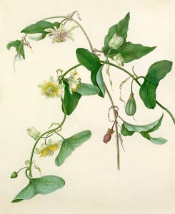 Passiflora misera by Margaret Meen