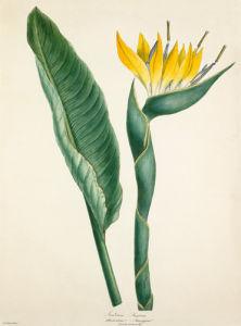 Strelitzia reginae by Margaret Meen