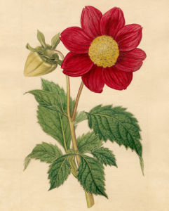 Dahlia superflua, Crimson-flowered by Sydenham Teast Edwards