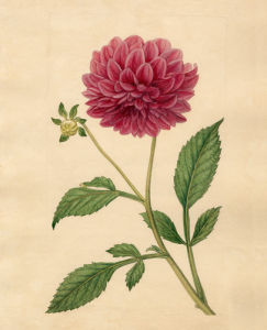 Dahlia superflua, Double purple-flowered by Sydenham Teast Edwards