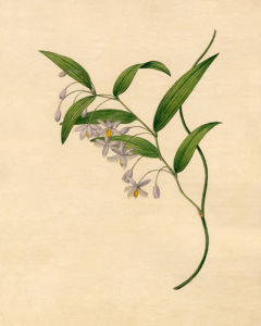 Eustrephus latifolius by Sydenham Teast Edwards