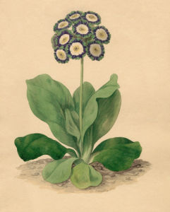 Primula auricula 'Cockup's Eclipse' by Sydenham Teast Edwards