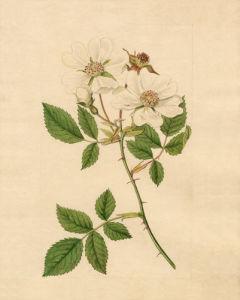 Rosa arvensis by Sydenham Teast Edwards