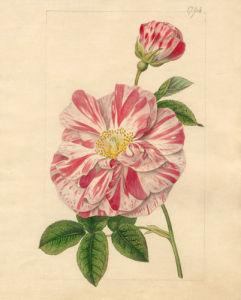 Rosa gallica versicolor 'Rosa Mundi' by Sydenham Teast Edwards