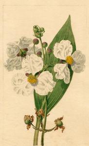 Sagittaria lancifolia by Sydenham Teast Edwards