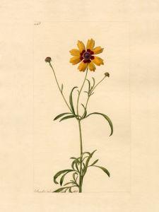 Coreopsis tinctoria by John Curtis